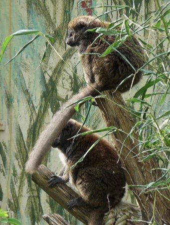 Jersey Zoo : Alaotran Gentle Lemur