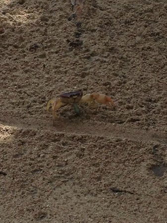Iberostar Rose Hall Beach Hotel: Sand crabs