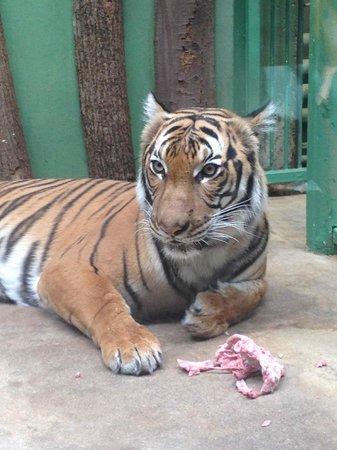 Prague Zoo : Tiger