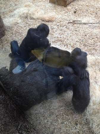 Prague Zoo : Gorilla and baby