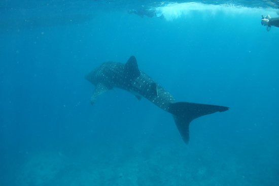 Dive The World Maldives: Whale Shark at Sun Out