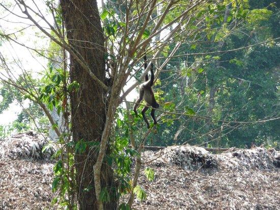 Chan Chich Lodge: Monkey