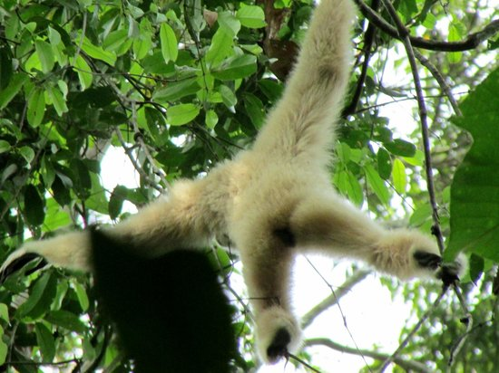 Green Leaf Tour: Gibbon swinging high in the canopy!