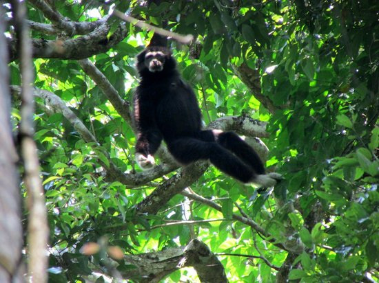 Green Leaf Tour: Gibbon - we saw both the black and white gibbons