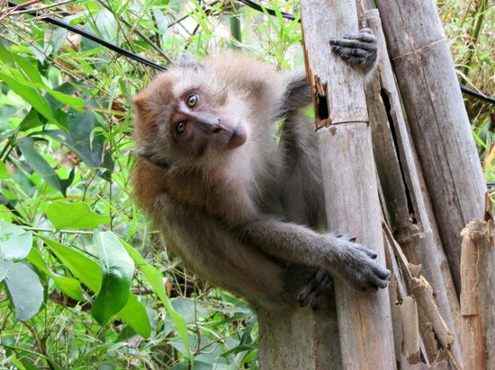 Dream Valley Resort: Many curious (and sometimes aggressive) macaques at Tonsai