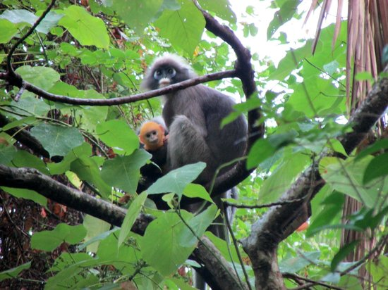 Dream Valley Resort: Shy spectacled Langur's can be found all over Tonsai! Beautiful creatures for the animal lovers!