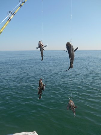 Fisher of Men Charters: Four Sea Bass caught at once.