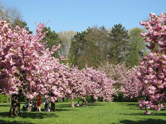 Sceaux, Fransa: Cerisiers du Japon