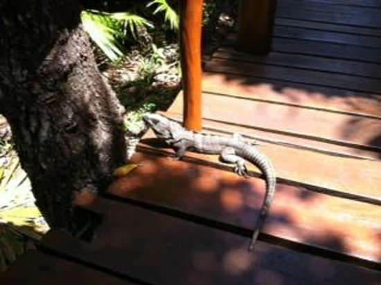 Grand Palladium Kantenah Resort and Spa: lizard