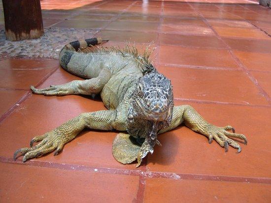 Melia Puerto Vallarta All Inclusive: Iguana