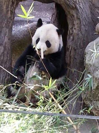 San Diego Zoo : Pandas
