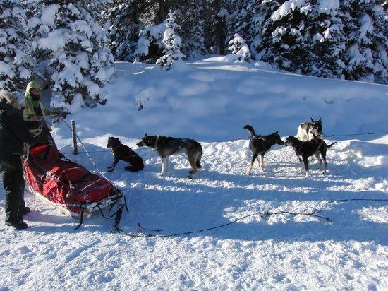 Kingmik Dog Sled Tours: Our dog sled team