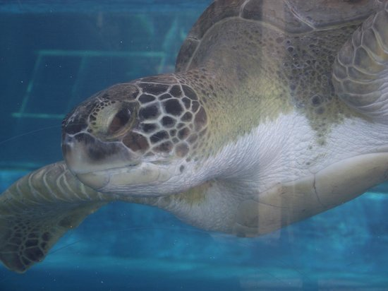 Texas State Aquarium : Friendly turtle