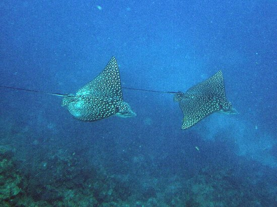 Blackbird Caye Resort: Spotted Rays