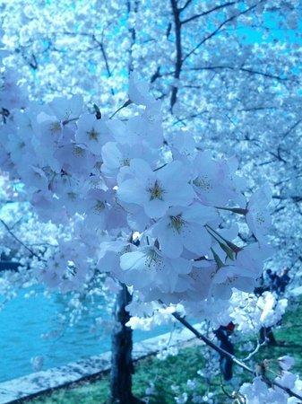 Tidal Basin: Full Bloom!