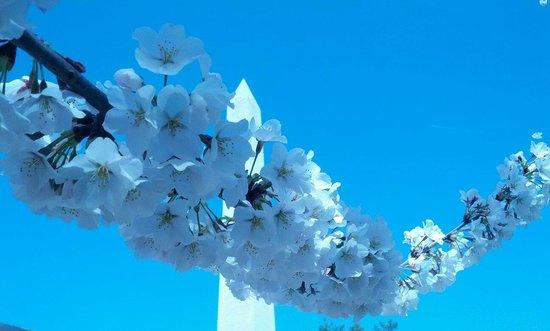 Tidal Basin: Blossoms and the newly refurbished Washington Monument!