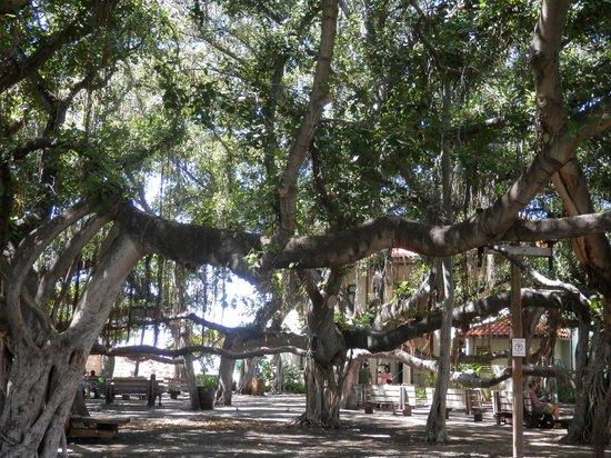 Banyan Tree Park: shaded mass