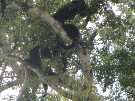 Black Orchid Resort: Howler monkeys!