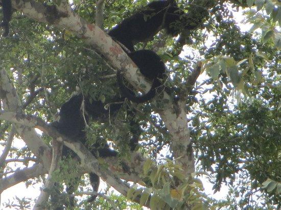 Black Orchid Resort: Howler monkeys!