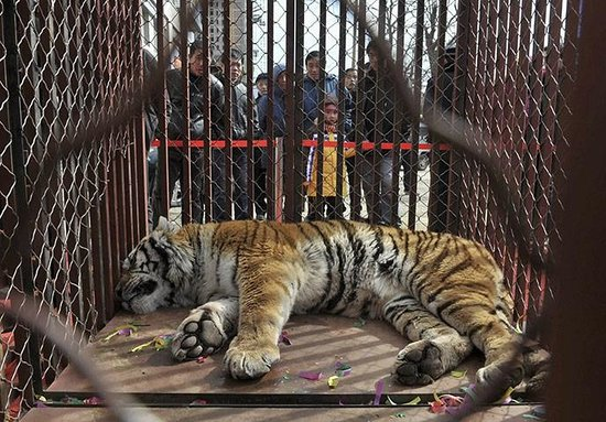 Shenyang Forest Wild Animal Zoo: tiger in china