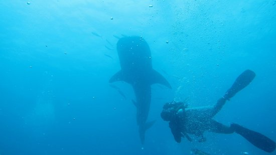 West Coast Divers: Did not expect to see my first whale shark in Thailand.