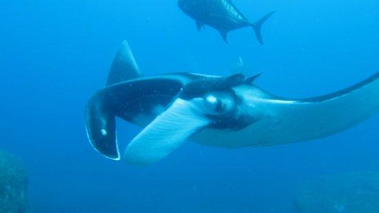 West Coast Divers: Manta Ray