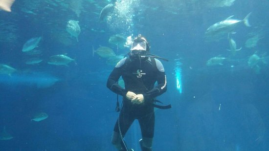 Maui Ocean Center: Scuba diver swimming with the tuna, sharks, sing rays and other fish.