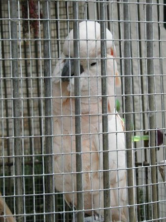 St. Nicholas Abbey: Baby, one of the cockatoos