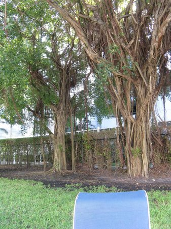 Sheraton Fort Lauderdale Airport & Cruise Port : interesting trees - back courtyard
