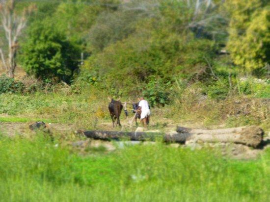 Princess Trails Farm: Ackerbau mit Ochsen