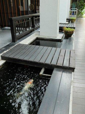 De Lanna Hotel, Chiang Mai: ground floor rooms, have fish ponds... BIG fish...
