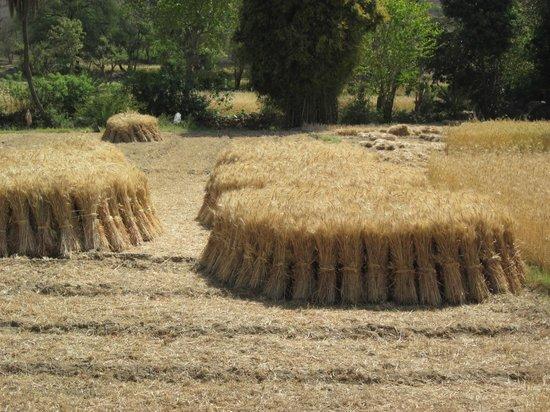 Rajasthan Trekking - Day Treks: hand harvested sheafs of wheat