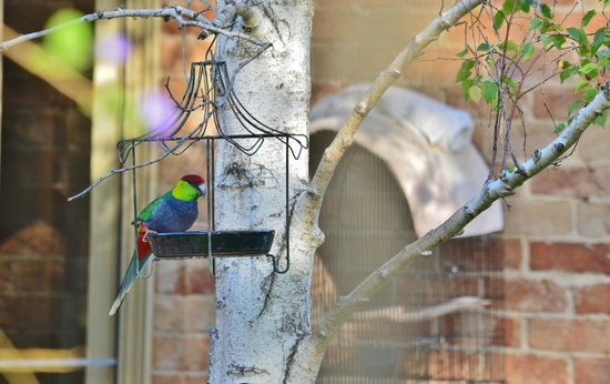 Hope Gardens House: wild red-capped parrot feeding just outside the dining room