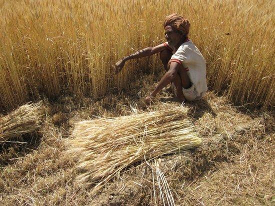 Rajasthan Trekking - Day Treks: farmer harvesting wheat