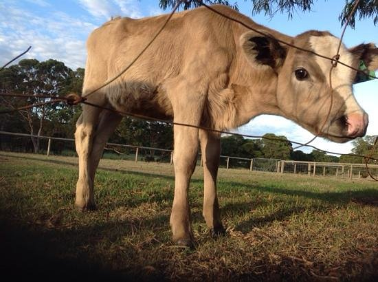 William Bay Country Cottages: cute little calf