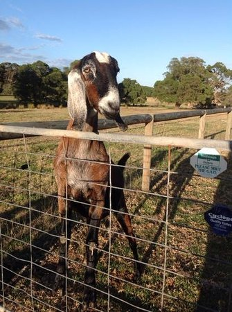 William Bay Country Cottages: curious goat