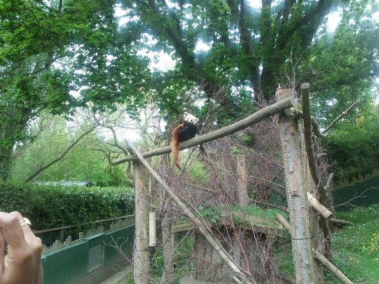 Dublin Zoo: Koala Roux