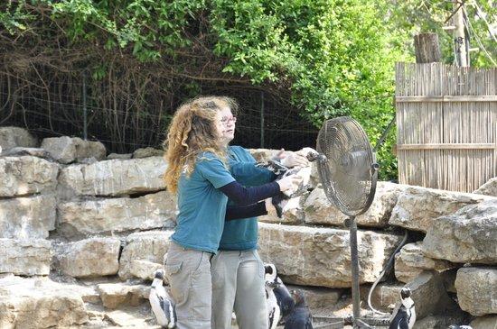 Safari Park: Охлаждают пингвина