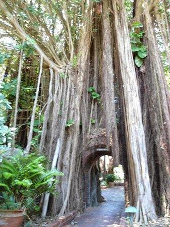 Key West Garden Club: Tree with tunel in it