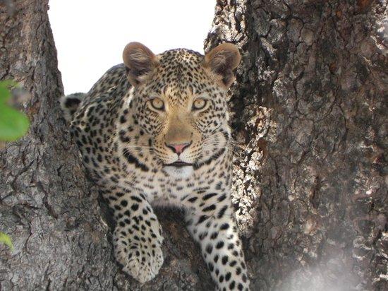 Game drives at Phalaborwa Gate in Kruger National Park: Giovane leopardo