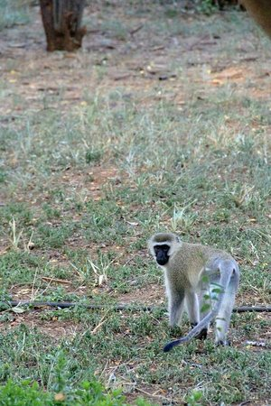 Ashnil Aruba Lodge: Baboon at Tsavo East