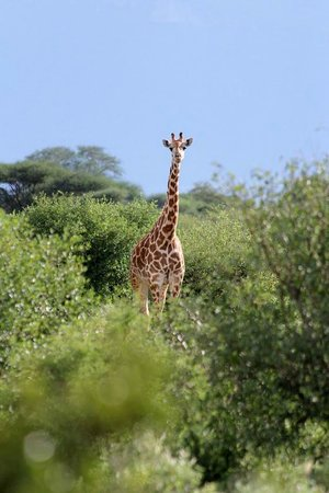Ashnil Aruba Lodge: Giraffe at Tsavo East