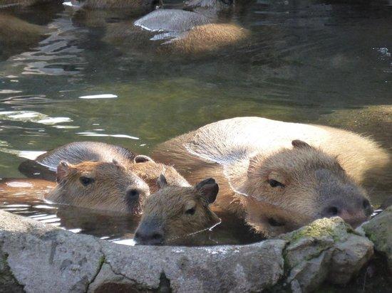 Izu Shaboten Animal Park: 元祖カピバラ温泉