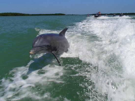 Capt. Ron's Awesome Everglades Adventures: Dolphin playing in the wake.
