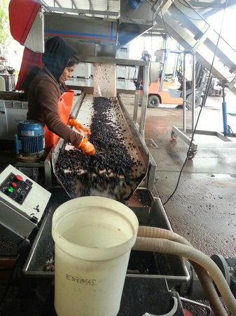 Trout & Wine Tours: Grape sorting