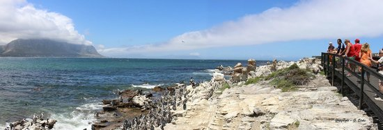Stony Point Penguin Colony: Just love watching these little people