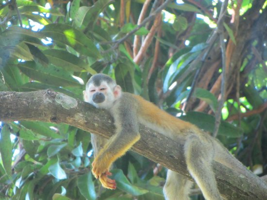 Gaia Hotel & Reserve : Squirrel monkey on hotel reserve