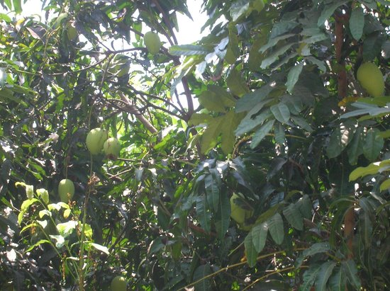 Sasco Blue Lagoon Resort: манго зреет