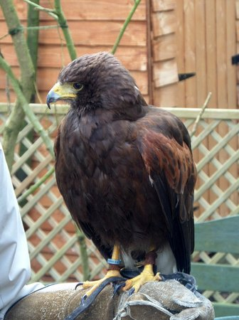 The Rutland Falconry and Owl Centre: Harry