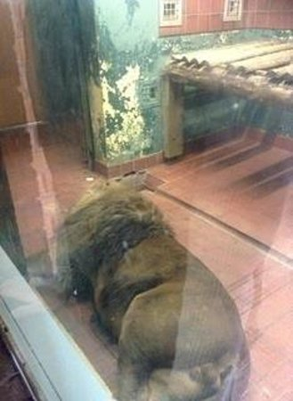 Newquay Zoo: Disgraceful lion in closure this lion was so lifeless it was painful to see. We was here for 2 h